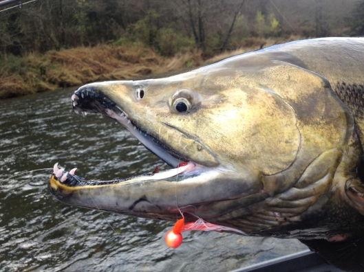 Chum Salmon Aero-Drifter